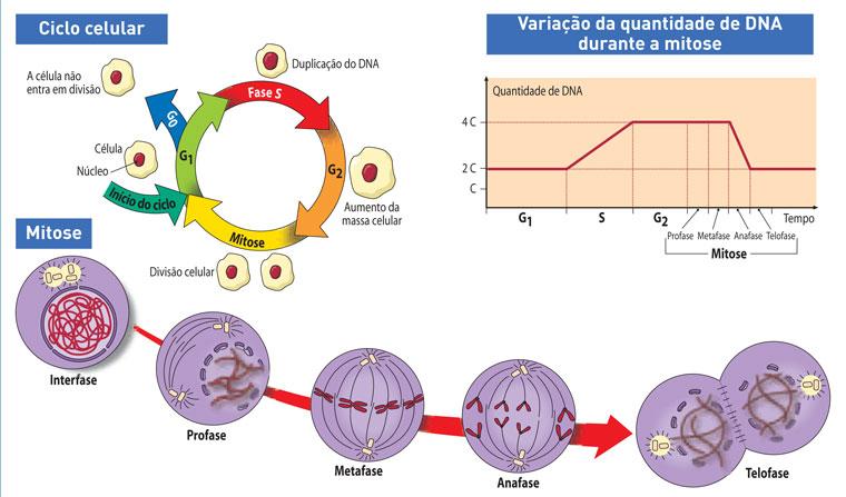 ciclo_celular_mitose