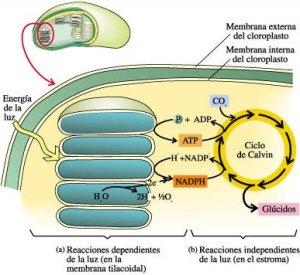 etapas_de_la_fotosintesis02