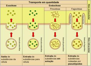 endocitose.exocitose.p